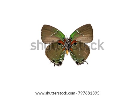 A beautiful lycaenid butterfly mimicking a bird, isolated on white baclground #797681395