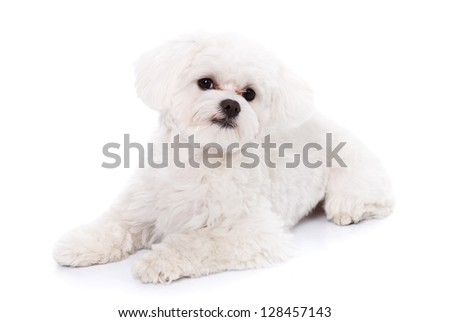 A beautiful lying white bichon puppy isolated on white background