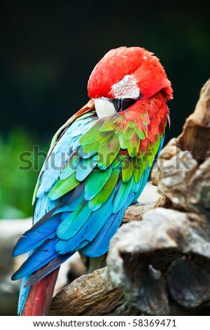 A beautiful Macaw taking a nap.