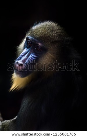 A beautiful madrill monkey with a blue face and golden hair sits half a turn in the dark, resembling a classic picture Johannes Vermeer.
