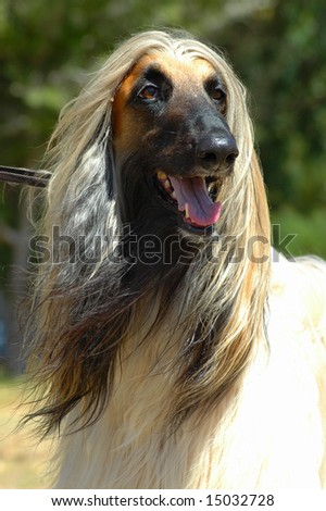 Hound Dog with Long Hair