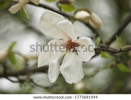 A beautiful magnolia flower on a tree is surrounded by green leaves. Close-up