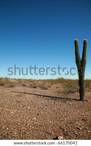 "A beautiful Majestic Saguaro Cactus thrives in the dry Arizona Desert ""Carnegiea Gigantea"""