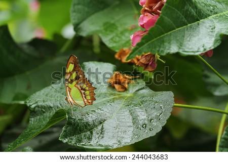 A beautiful Malachite butterfly on a wet leaf #244043683