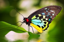 A beautiful male Cairns Birdwing Butterfly (Ornithoptera euphorion) sitting on a leaf with reflection in the water.