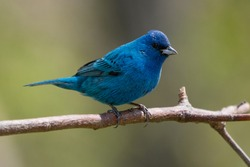 A beautiful male indigo bunting pauses for a moment on a branch near the edge of woodlands in northern Connecticut.