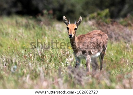 A beautiful male mountain reedbuck antelope in this portrait taken while on safari in Eastern Cape,south africa