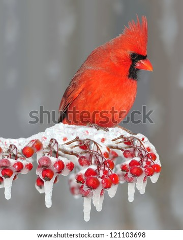 A beautiful male Northern Cardinal (Cardinalis cardinalis) on an icy hawthorn branch laden with bright red berries.