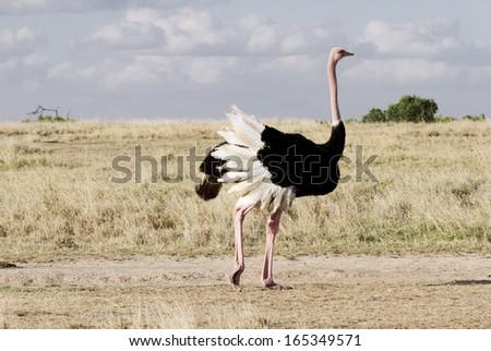 Shutterstock A beautiful male Ostrich