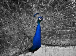A Beautiful Male Peacock Displays his Plumage.  Selective Color on the bird's head