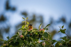 A beautiful male redstart sitting in an apple tree in a late summer. Wild bird getting ready for nesting in a backyard.