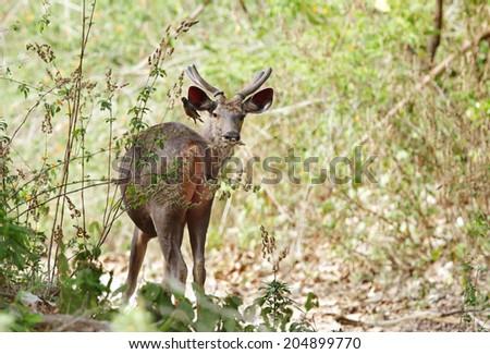 A beautiful male Sambar deer  Stok fotoğraf ©