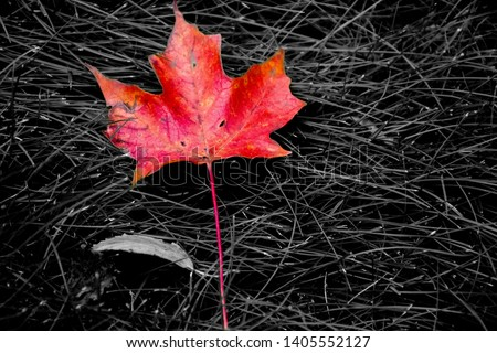 A beautiful Maple leaf monochrome pic from Fall Colour of Michigan