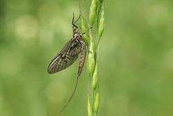 A beautiful Mayfly ( Ephemera vulgata) perching on grass seeds.