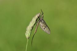 A beautiful Mayfly, Ephemera vulgata, perching on grass seeds.
