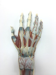 a beautiful medical hand model that has detail on the anatomy of vessel, tendon, ligament and muscle.
