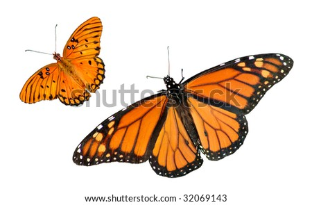 A beautiful Monarch and Gulf Fritillary Butterfly isolated on a white background with copy space