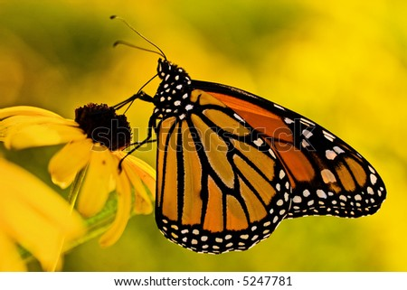 A beautiful monarch butterfly (danaus plexippus) on a Black-eyed Susan (rudbeckia hirta) flower.