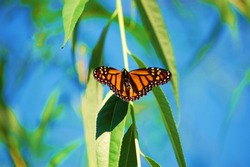 A beautiful monarch butterfly on a branch of green leaves in front of a blue sky on a summer day.