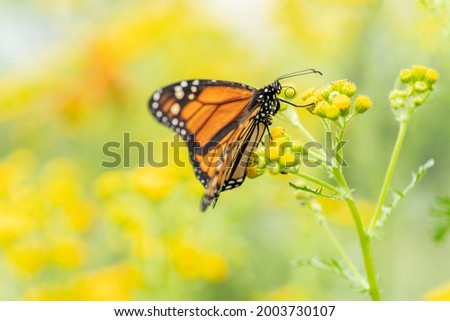 A beautiful monarch butterfly or simply monarch (Danaus plexippus) feeding on yellow flowers in a Summer garden. Blurry yellow background. Precious Orange butterfly                                Stock photo ©