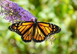 A beautiful monarch butterfly with wings spread feeding from a purple butterfly bush flower with out of focus green background