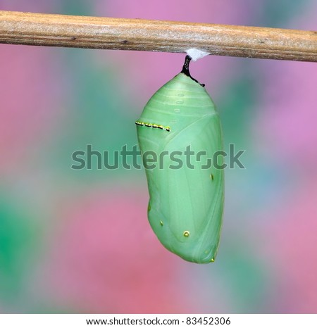 A beautiful Monarch chrysalis (Danaus plexippus) against an attractive background.
