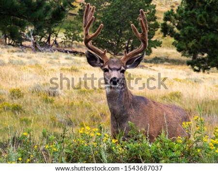 A Beautiful Mule Deer Buck Showing off its Velvet Antlers #1543687037