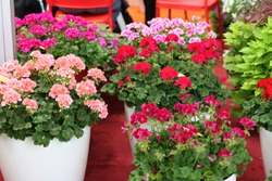 A beautiful multicolored pelargonium in flower pots. Сolorful geranium in pots at a flower show