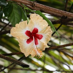 a beautiful multicoloured wild hibiscus with yellow on the petals and red at the center in a forest