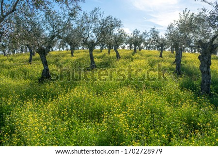 A beautiful Olive trees agricultural field full of yellow flowers blooming on a sunny day during sunset time. An idyllic landscape of farming lands at Extremadura countryside