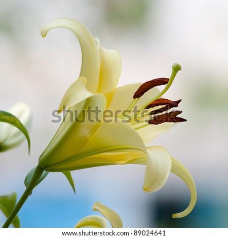 A beautiful open flower yellow lilies