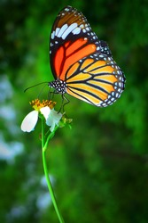 A beautiful orange butterfly resting on a white flower