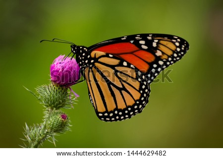 A beautiful orange monarch butterfly perfectly balancing on a flower and gathering its nectar