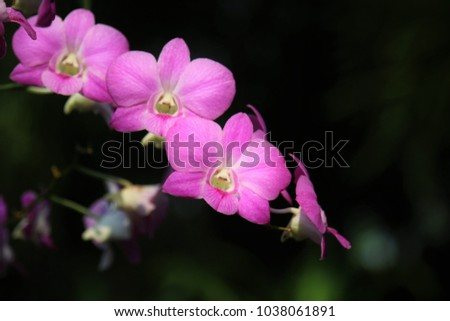 A beautiful orchid in the garden. Dendrobium is one of the largest of all orchid groups. Native to Southeast Asia, they are many popular dendrobium hybrid orchids in Thailand and in the world.