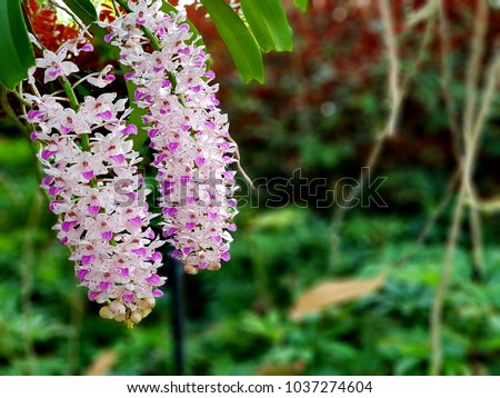 A beautiful orchid in the garden. Foxtail orchid (Rhynchostylis orchids) are long inflorescence that resembles a fluffy, tapering fox tail. it is beauty, unusual range of colors  and spicy aroma.