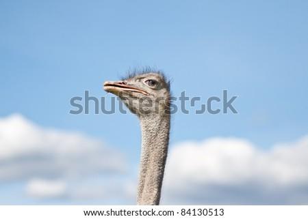 A beautiful ostrich on a farm in Sweden