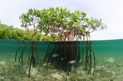 A beautiful over-under image of a mangrove system in the Bahamas