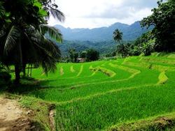A beautiful paddy field in Srilanka
