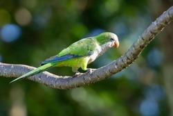A beautiful parakeet Monk Parakeet (Myiopsitta monachus), also know as  Caturrita in Brazil, in their natural habitat at Atlantic forest, Rio de Janeiro, Brazil.