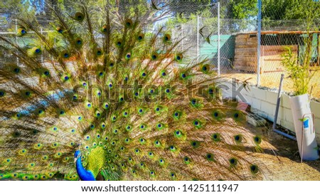 A beautiful peacock in Burrolandia, a farm located in Tres Cantos, Madrid, Spain, Europe.