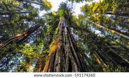 A beautiful perspective of a sequoia forest