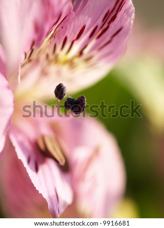 A beautiful Peruvian Lilly (Alstroemeria aurea) with shallow depth of field