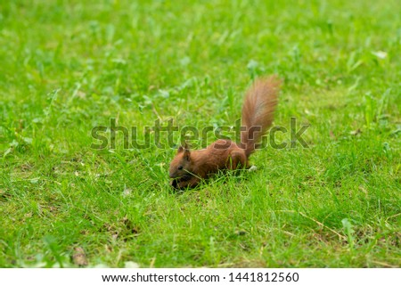 A beautiful photo of a red squirrel (Sciurus vulgaris) that eats a walnut on green grass in a park. Photo with a shallow depth of field. Green grass background.