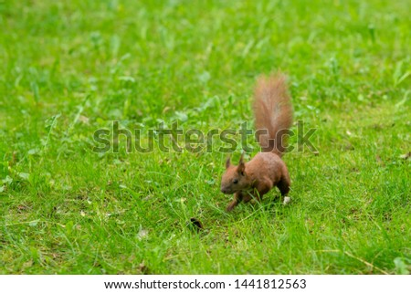 A beautiful photo of a red squirrel (Sciurus vulgaris) who found a walnut on green grass in a park. Photo with a shallow depth of field. Green grass background.