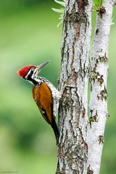A beautiful picture of a wood pecker bird