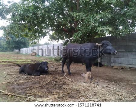 A beautiful picture of black buffalo in farm