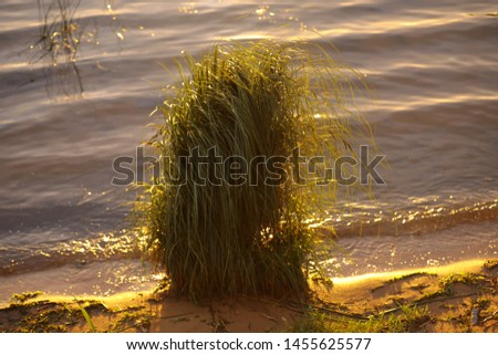 A beautiful picture of nature. A shaggy hillock of long grass on the shore of a lake near the water in the golden glitter of the evening sun. A cane bunch at sunset on a blurred background waves