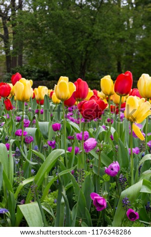 A beautiful  picture of nice red, yellow tulips and  violet poppies with a forest on background. A perfect picture for an International Women's day.