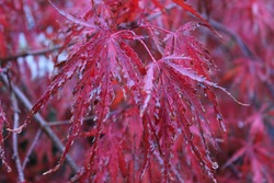 A beautiful picture of the crimson queen japanese maple tree.