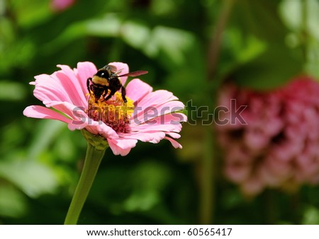A beautiful pink daisy is in full bloom in summer and a polenating honey bee.